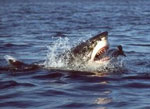 От укусов акулы в Египте пострадал один украинец