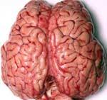 Вчені встановили, в якому віці можливості людського мозку починають знижуватися