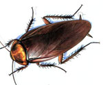 Мозг таракана может убивать бактерии и вирусы