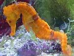 Ученые объяснили форму тела морских коньков